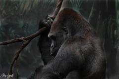 Gorille_000