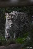 Panther_000