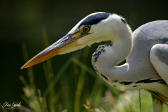 Heron_02