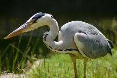 Heron_10